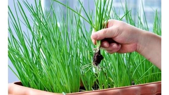 小葱施肥就用果蔬健水溶肥!