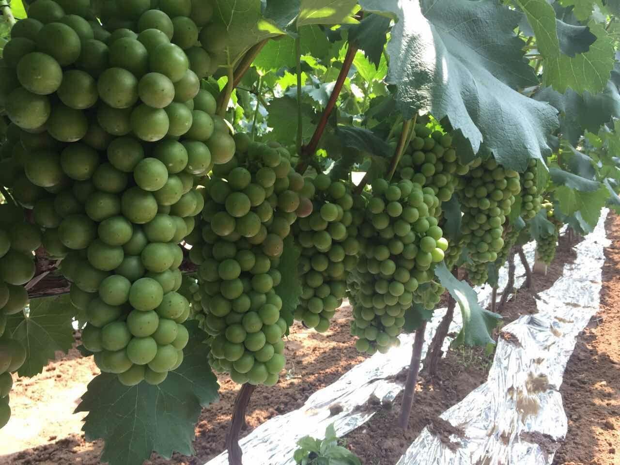 葡萄膨果期用什么肥