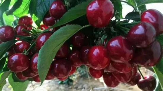 樱桃树施肥管理,记住这六点,四年亩产4000斤!