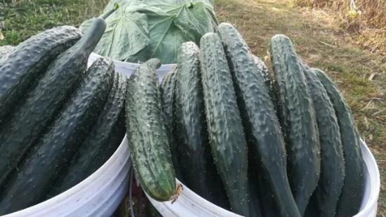 黄瓜怎么施肥?平度孙叔的种植秘诀:黄瓜口感好,条型好,不早衰
