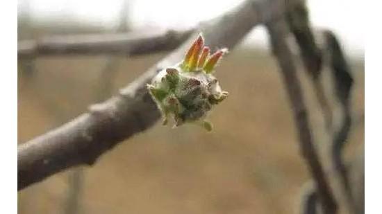 萌芽期果树施肥管理要点速看!长效加速效,果树长得好!