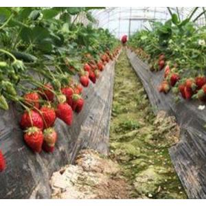 草莓各时期施肥方案
