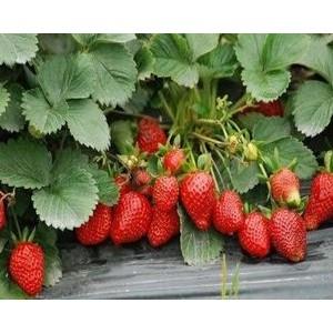 不同时期草莓施肥方案!(详解)