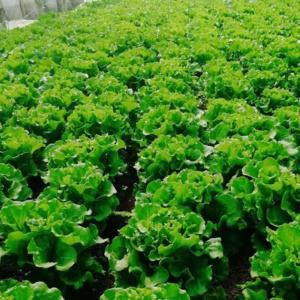 腐植酸肥料中的黄腐酸,有什么功效?