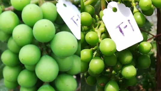 葡萄膨果期用什么肥?就用果蔬健水溶肥!