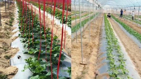 哈密瓜用什么水溶肥?海南的易吕大哥选择果蔬健水溶肥!