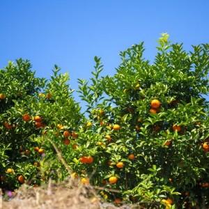 柑橘施肥用什么好呢?柑橘种植户必读