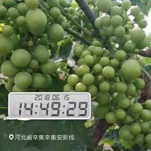 巨峰系葡萄坐果率低和大小粒问题及巨峰葡萄施肥方案