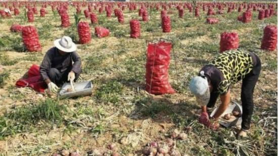 学习洋葱高产管理技术,洋葱如何施肥产量高?看专家怎么说的!