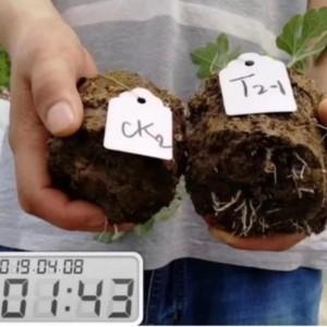 西瓜定植后管理施肥要点