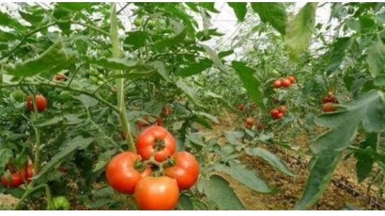 番茄该怎么施肥管理,看完你就知道了