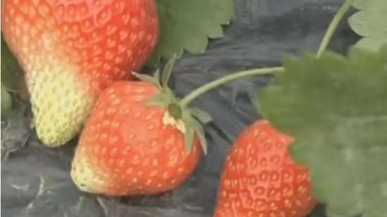 草莓畸形果怎么施肥管理(多图详解)