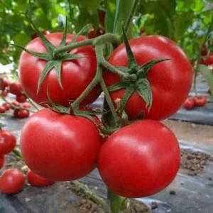 番茄施肥及种植技术管理