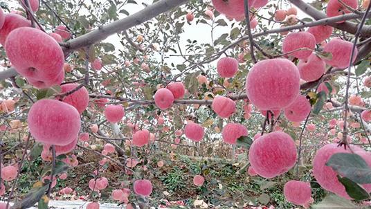 种苹果用什么肥料?洛川苹果种植大户用果蔬健水溶肥!