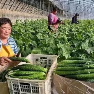 黄瓜冬季施肥要点,弄清3点原因,远离黄瓜化瓜
