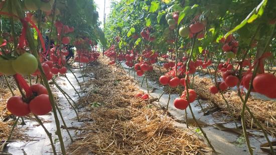一亩增产3000元,邵大哥种番茄用果蔬健水溶肥!